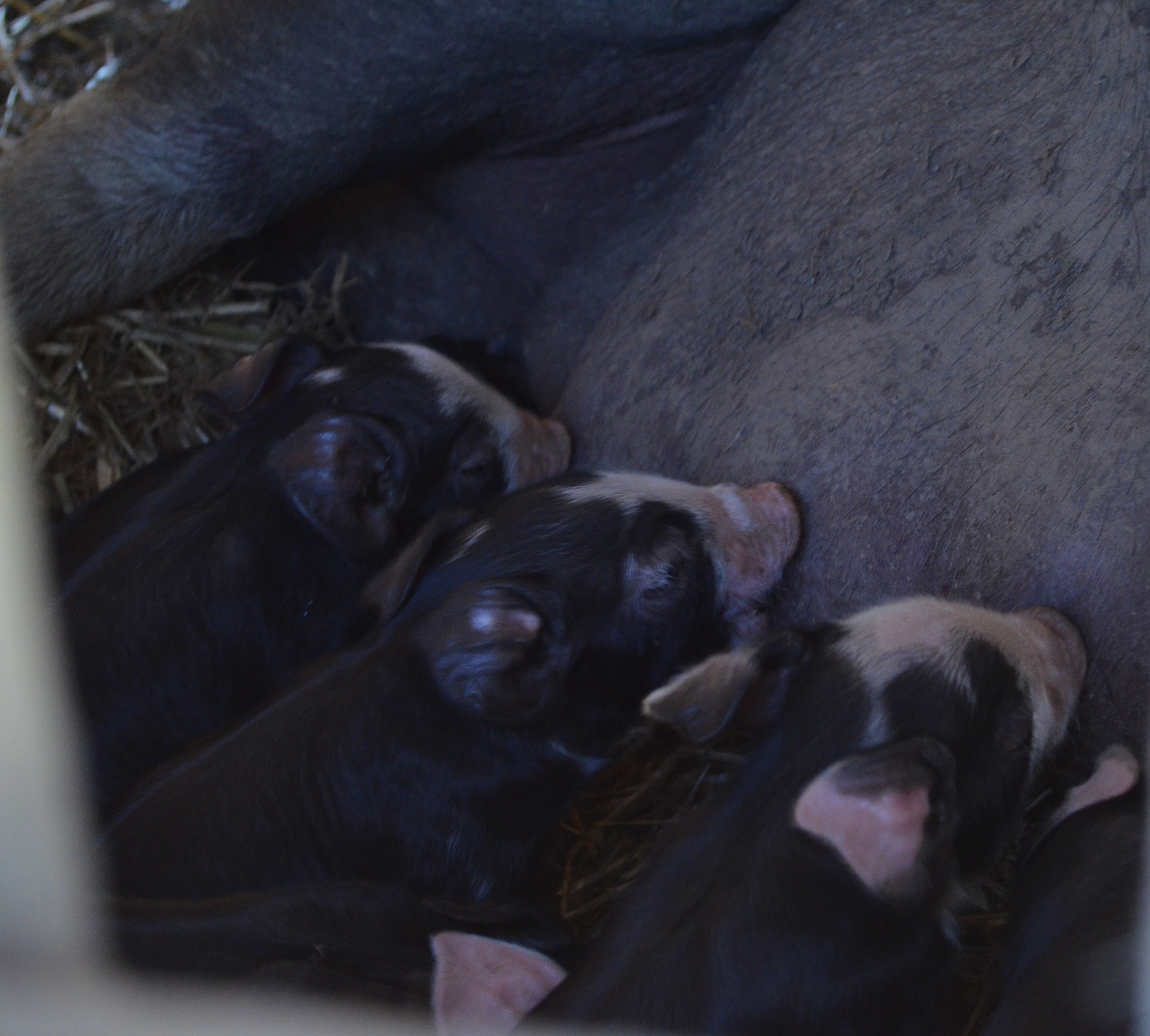 piglets on warporweft.com