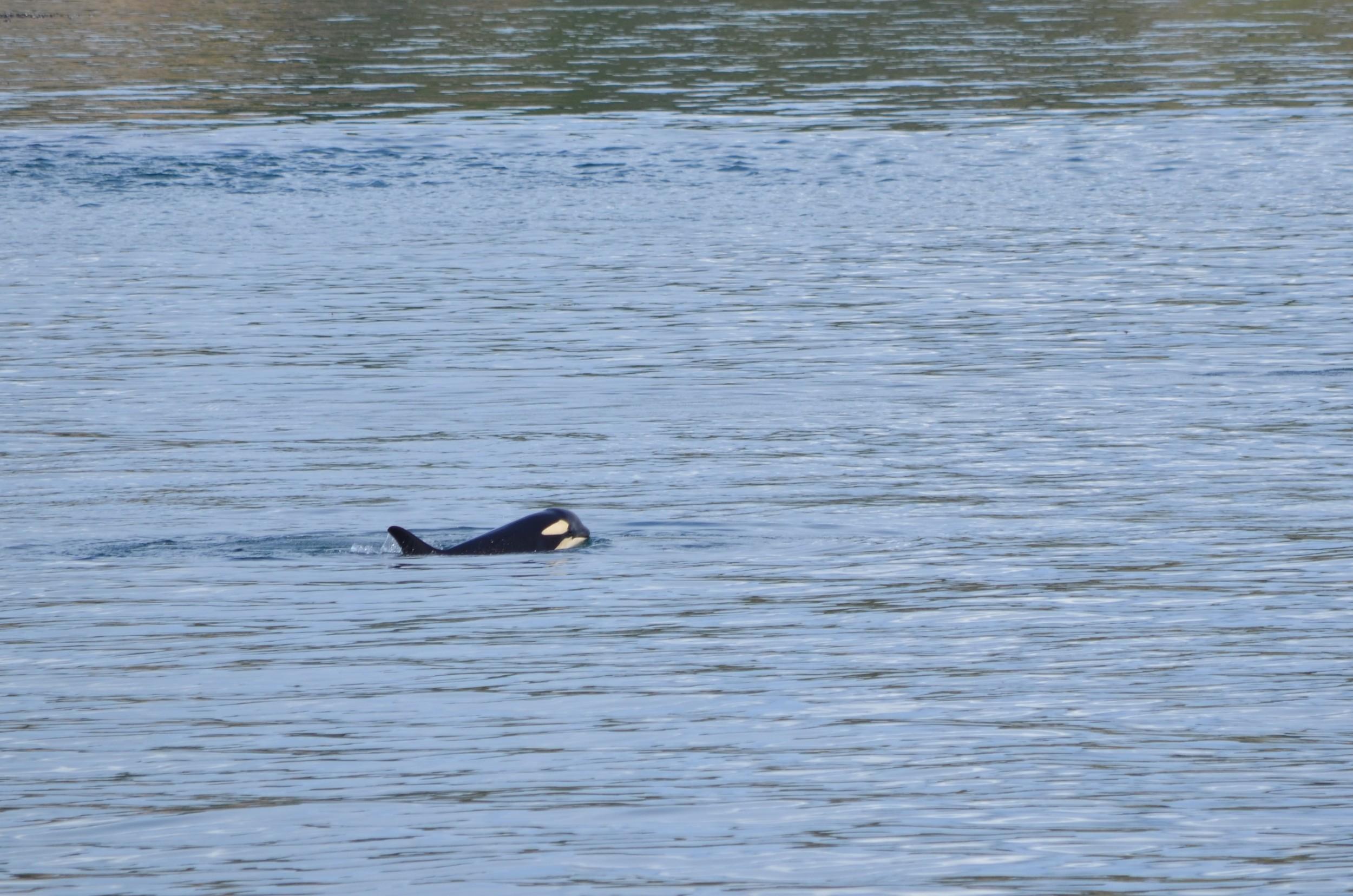 orca whales / warporweft.com