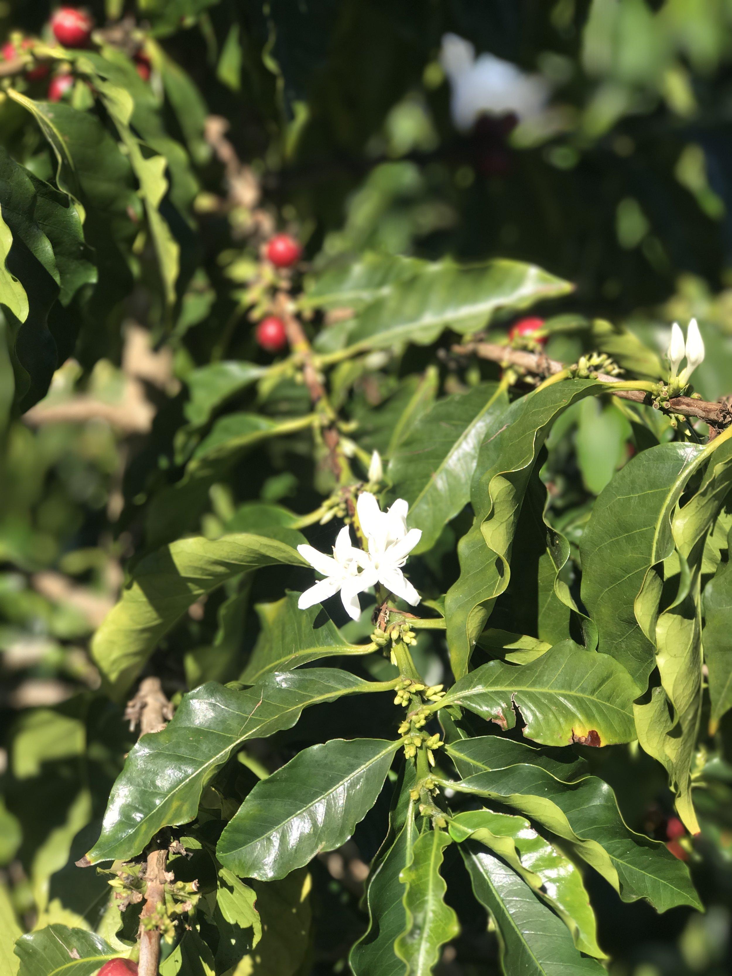 Coffee Flowers and Beans at O'o Farm / Warporweft.com