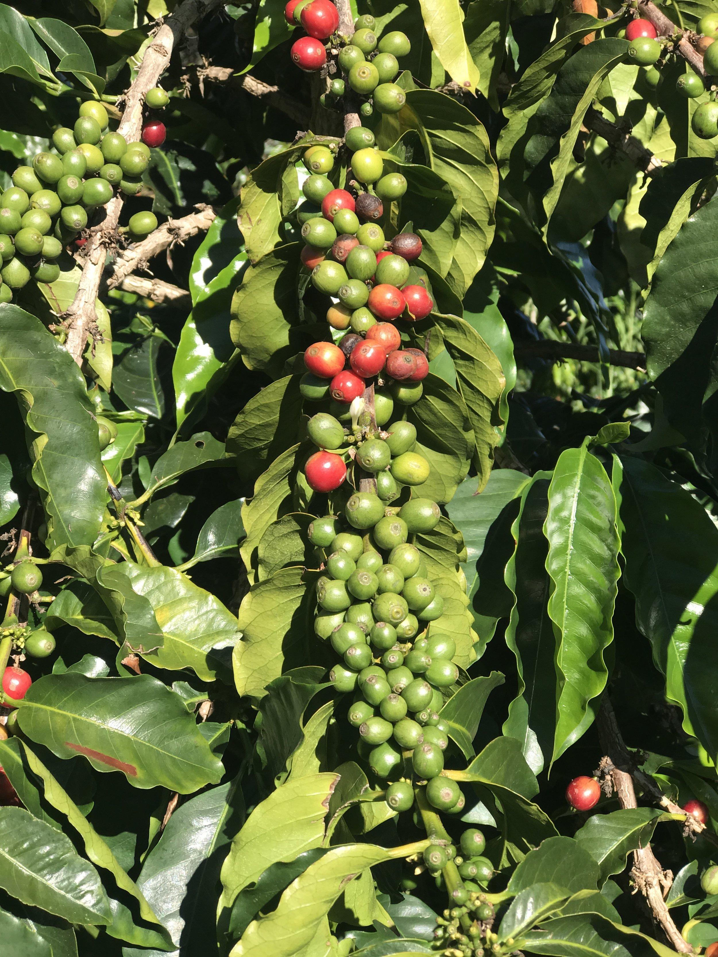 Coffee Beans on Maui / warporweft.com
