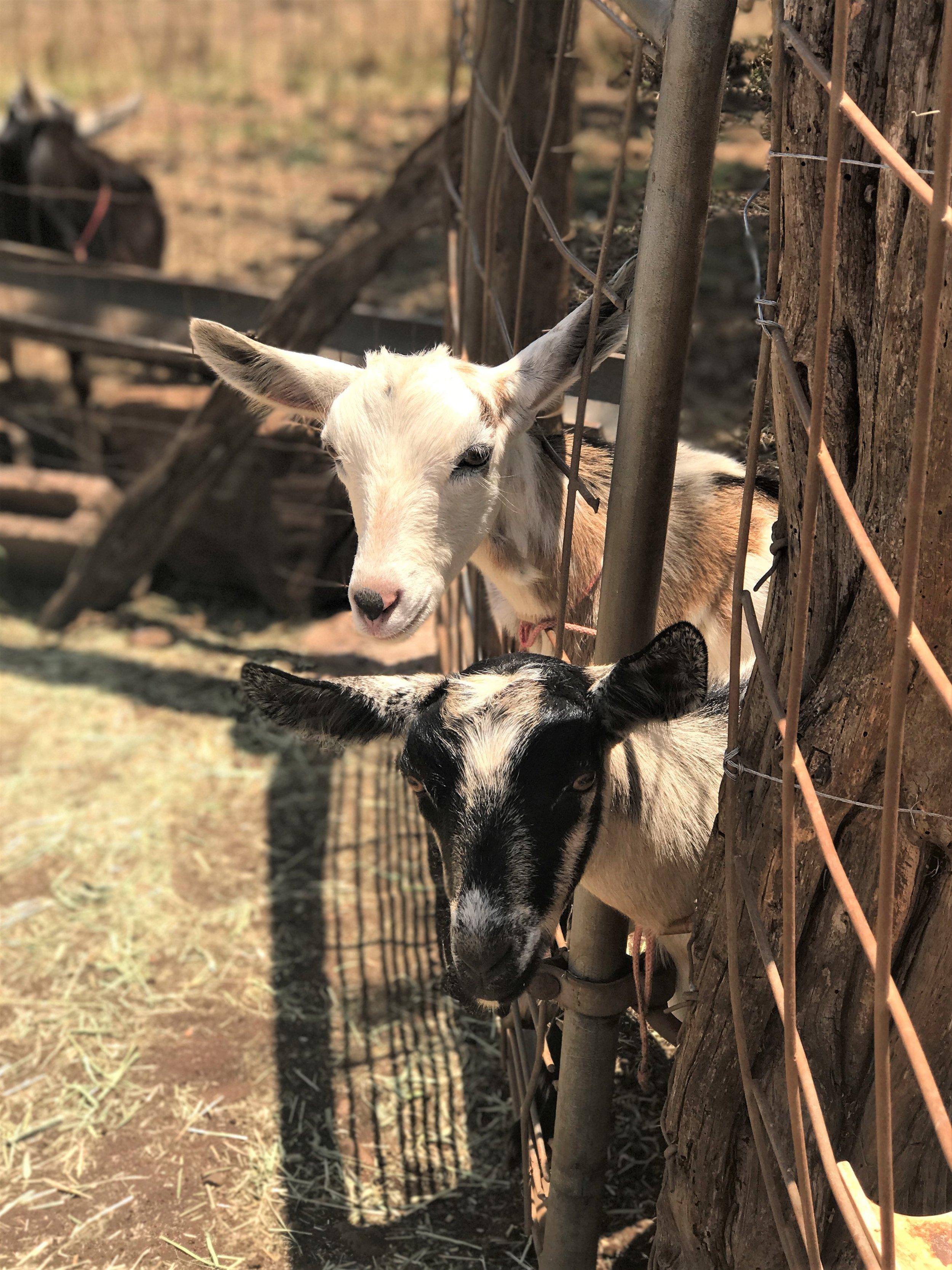 Surfing Goat Dairy Maui / warporweft.com