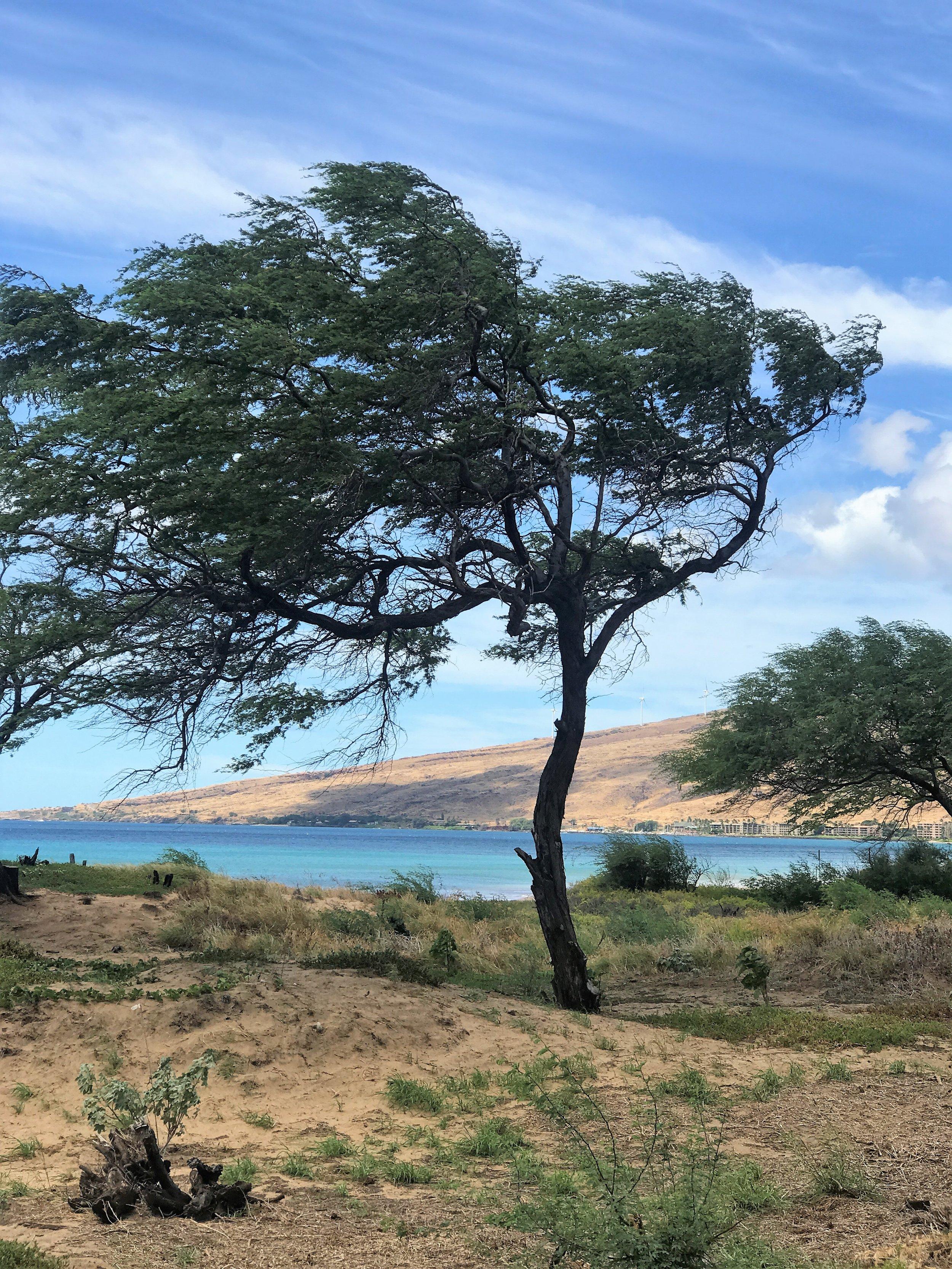 Tree in Sugar Beach in Hawaii / warporweft.com