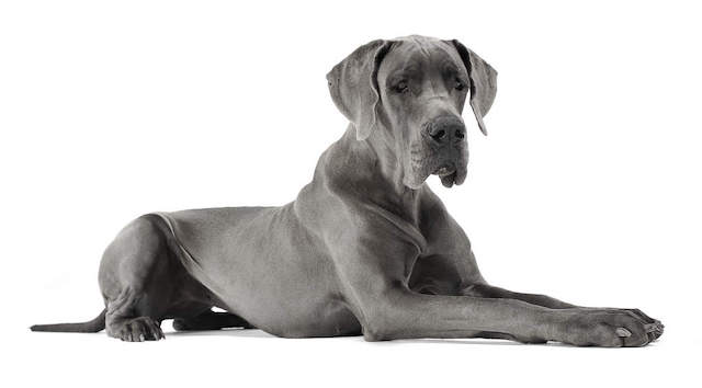 A Great Dane For Number 10.jpg