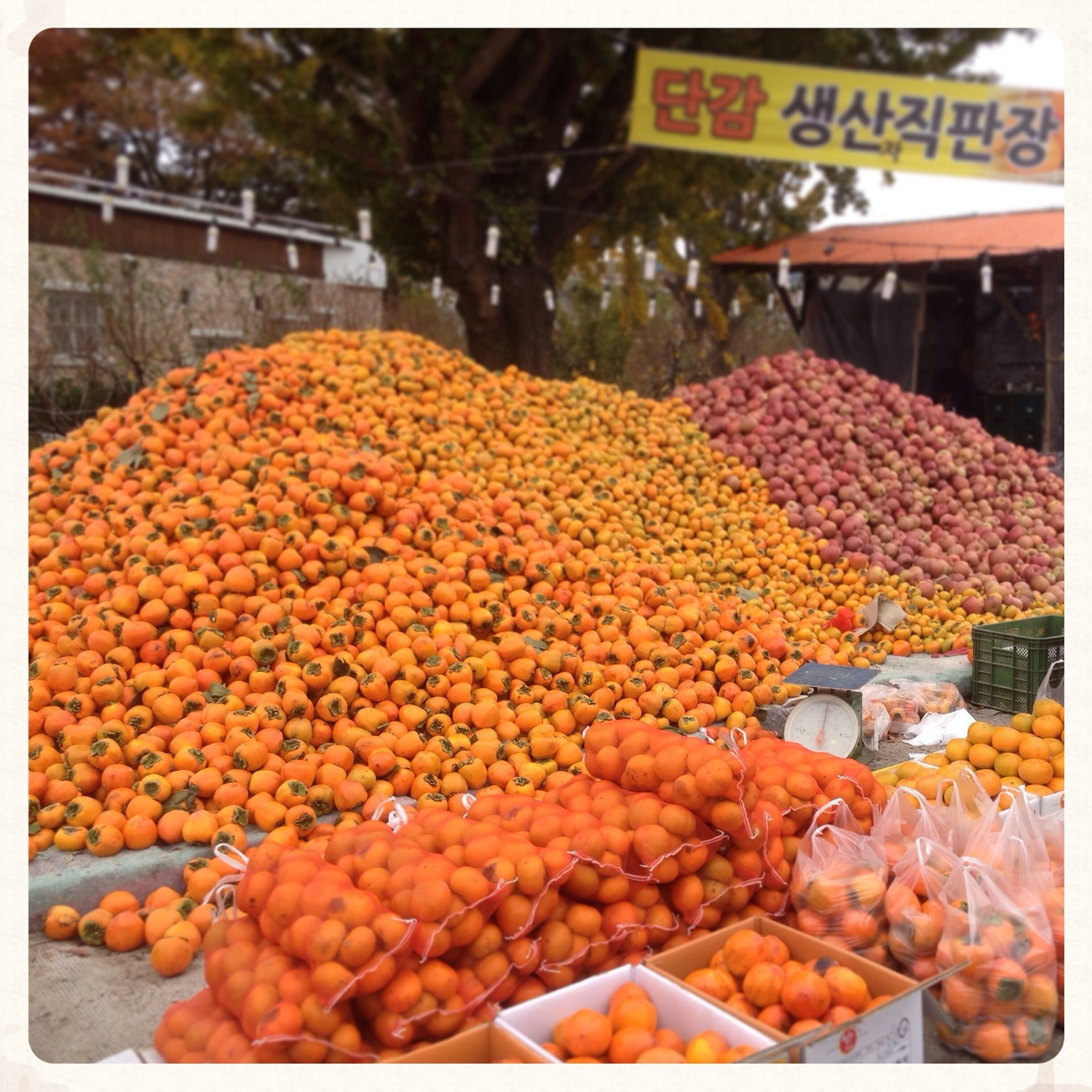 Giant pile of persimmon and apples for sale out in the country side near Seorak Mountain. What a beautiful sight! Just be careful you don't eat TOO many all at once - although these are fruit and are good for you, overeating them can cause you constipation. Too much of anything is never a good thing!
