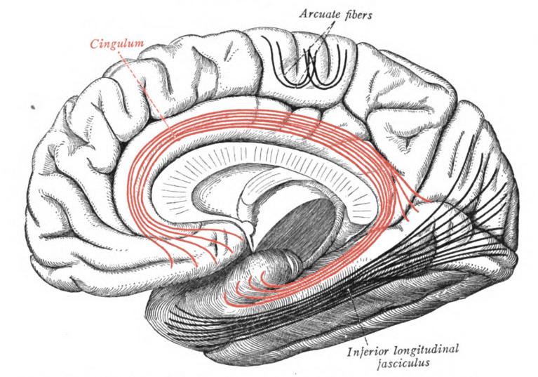 Cingulum (in red).  Image courtesy of Sobotta.