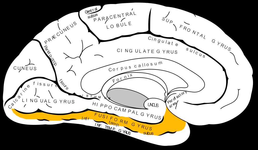 Fusiform gyrus (in orange).