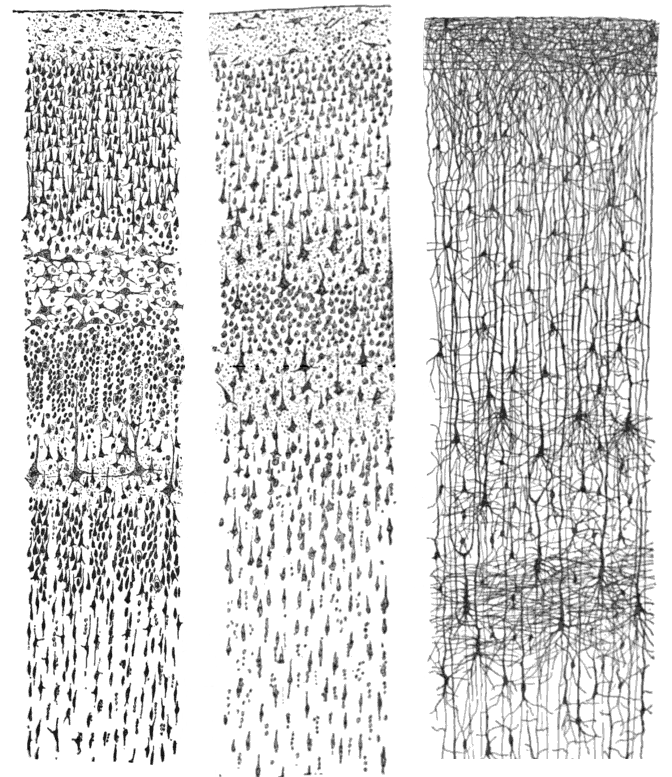 Cajal's representation of the layers of the cerebral cortex.