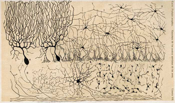 Cajal's depiction of neurons in the cerebellum.