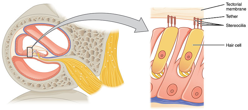 hair cells (on right).  image courtesy of openstax college.