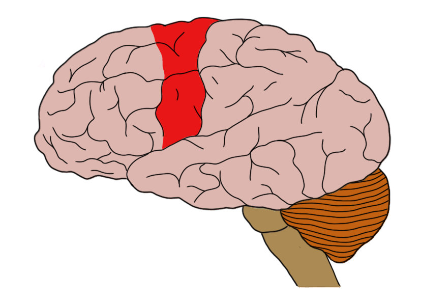 The motor cortex (in red)