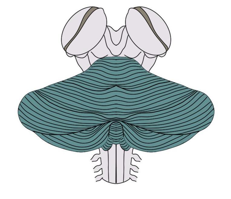 Cerebellum (in green)