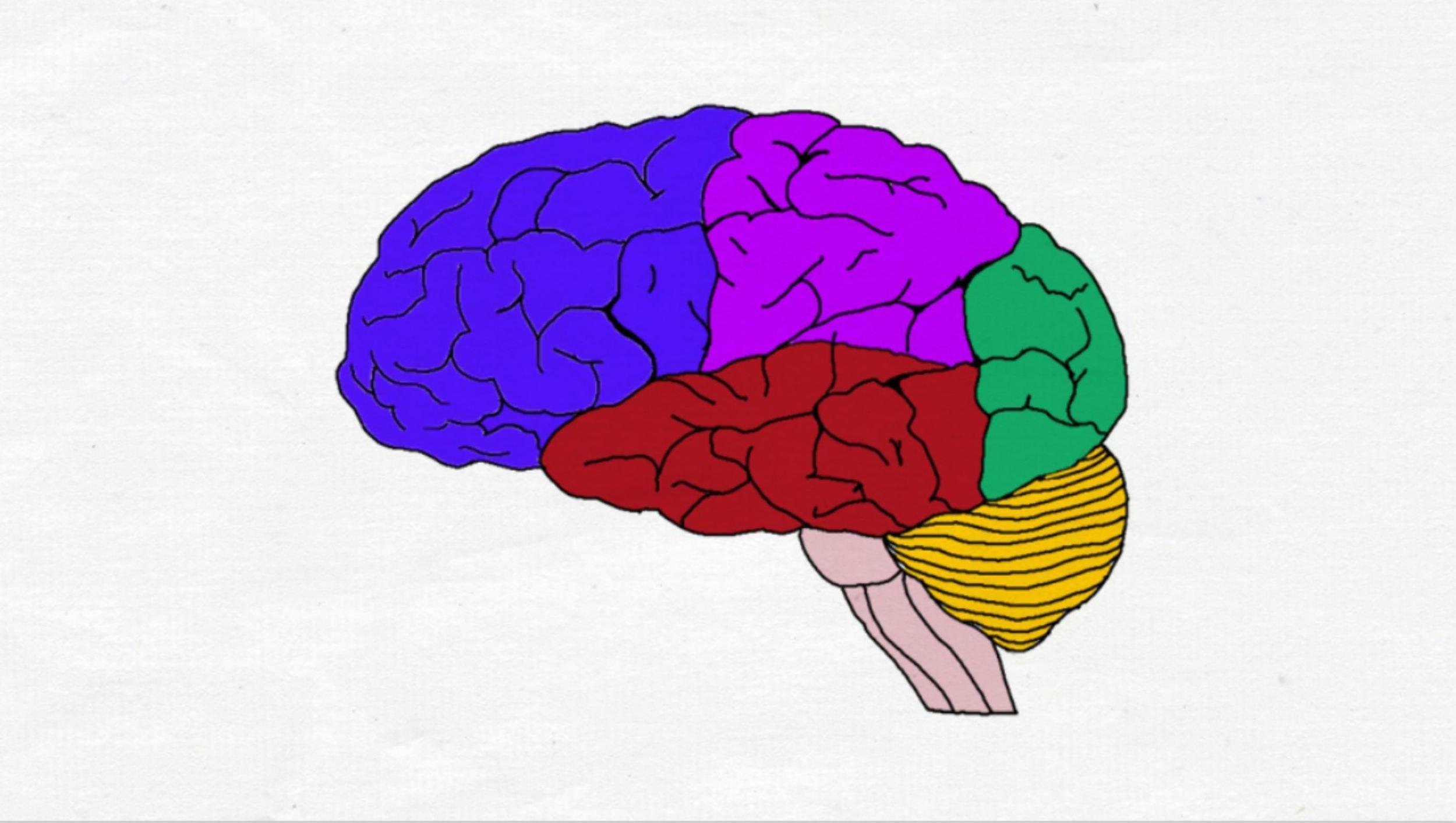 "2-Minute Neuroscience<a href=""/blog/2-minute-neuroscience-lobes-landmarks-of-the-brain-surface-lateral-view"">→</a><strong>Lobes and Landmarks of the Brain Surface</strong>"