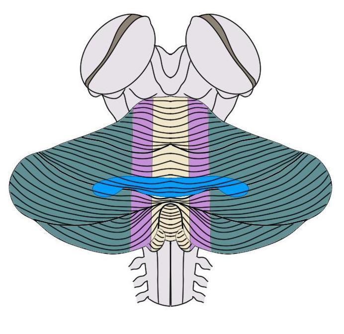 """2-Minute Neuroscience<a href=""""/blog/2-minute-neuroscience-cerebellum"""">→</a><strong>Cerebellum</strong>"""