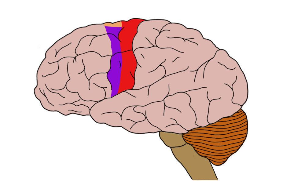"2-Minute Neuroscience<a href=""/blog/2-minute-neuroscience-motor-cortex"">→</a><strong>Motor Cortex</strong>"