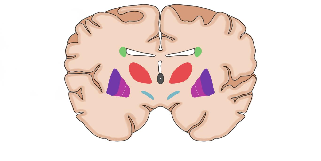 "2-Minute Neuroscience<a href=""/blog/2-minute-neuroscience-basal-ganglia"">→</a><strong>Basal Ganglia</strong>"