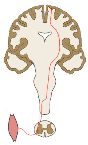 """2-Minute Neuroscience<a href=""""/blog/2-minute-neuroscience-corticospinal-tract"""">→</a><strong>Corticospinal Tract</strong>"""