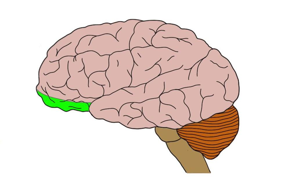 Orbitofrontal cortex (in green).