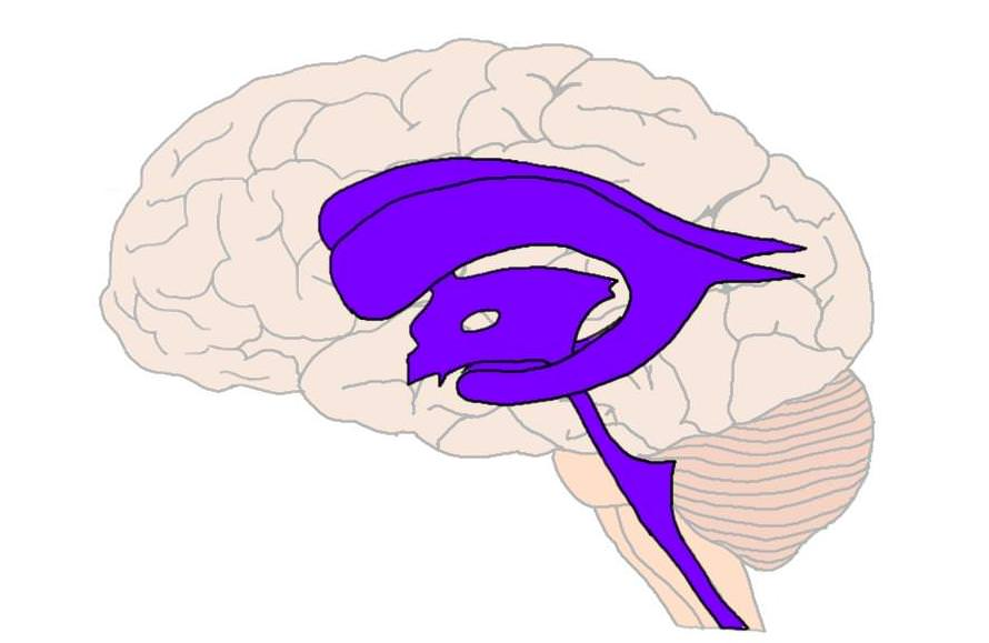 The ventricles (in purple).