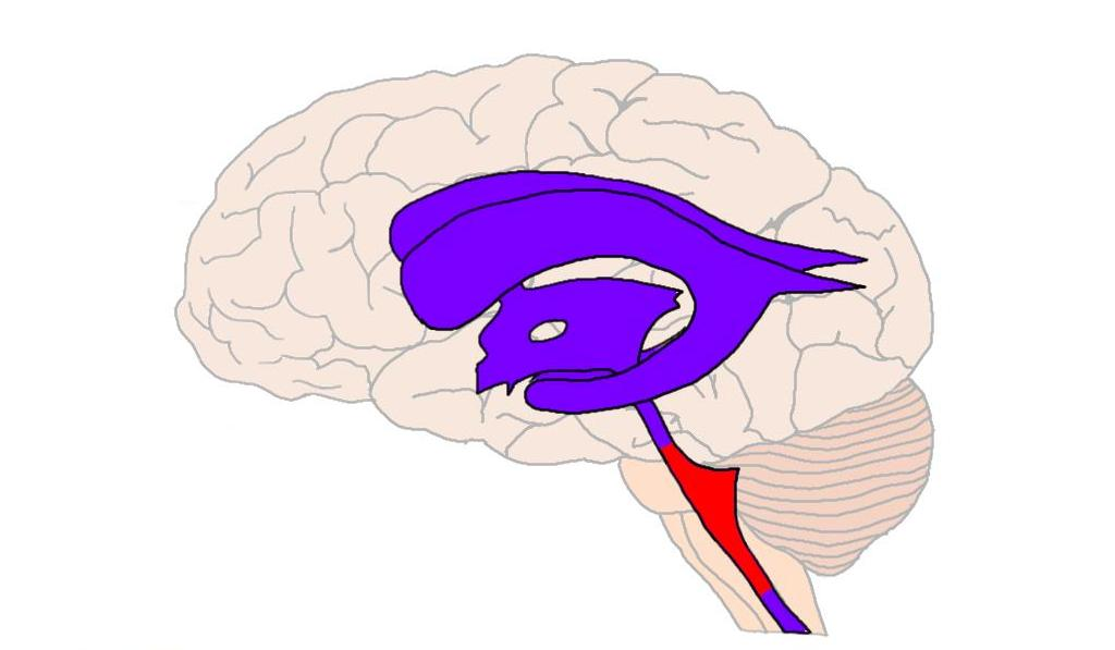 fourth ventricle (in red).