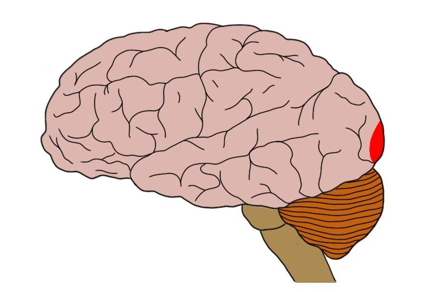 the primary visual cortex is represented by the small red area at the back of the brain.