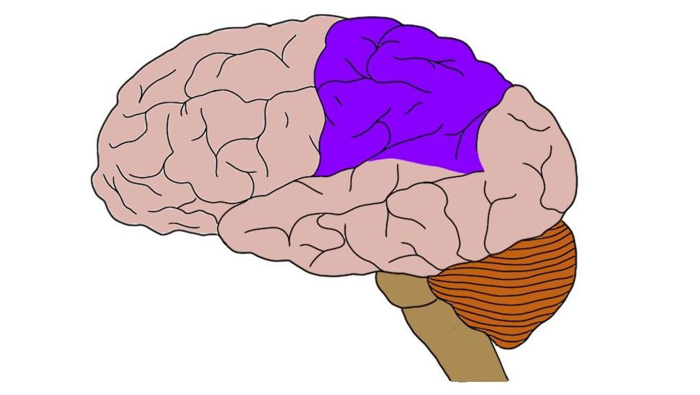 Parietal lobe (in purple).