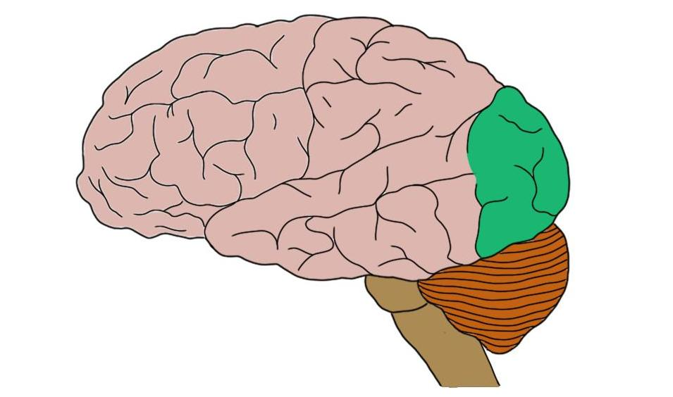 Occipital lobe (in green).