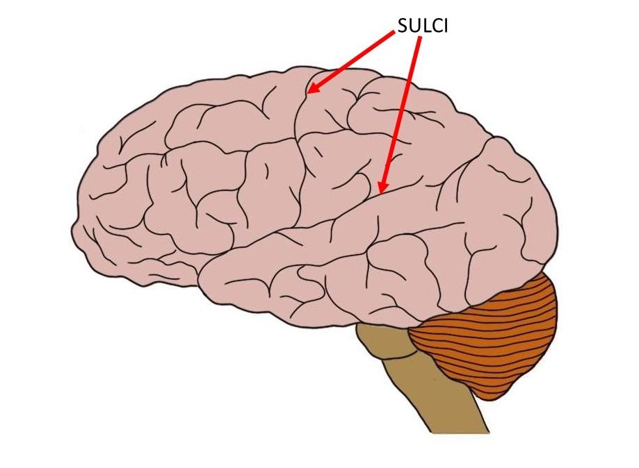 sulcus.