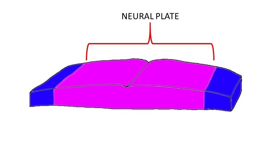 the neural plate is represented by the purple area of tissue above.