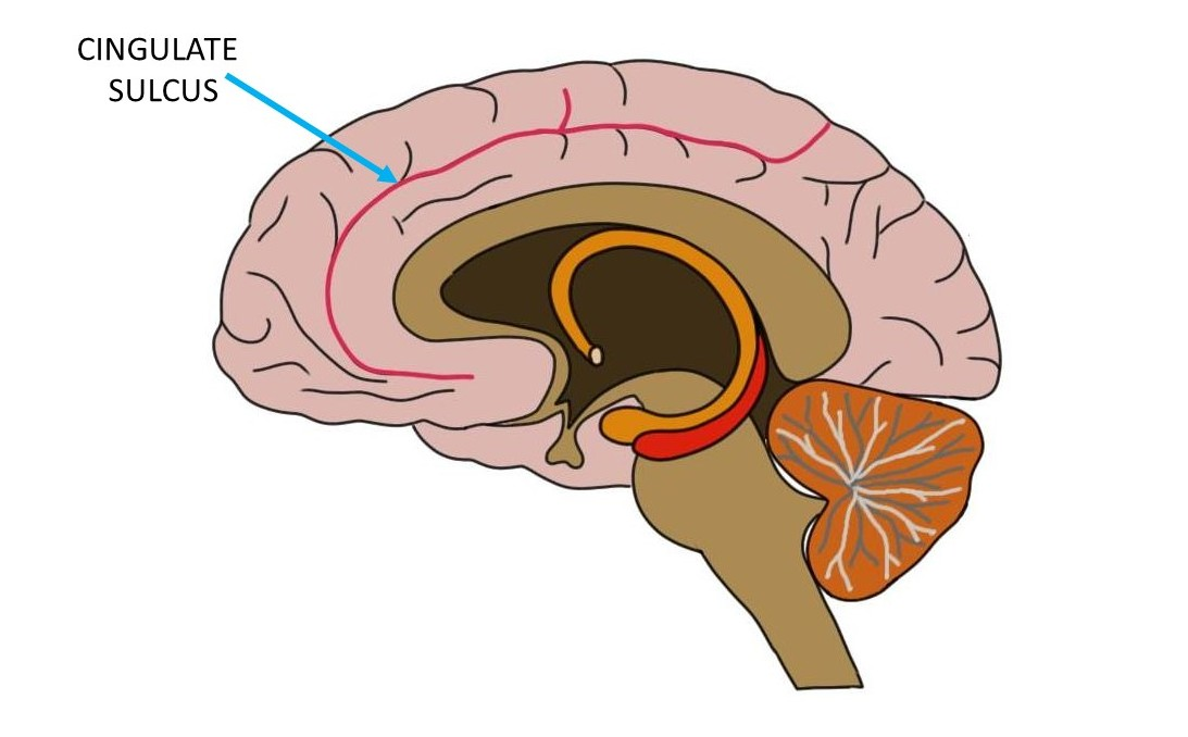 The cingulatte sulcus is represented by a red line.