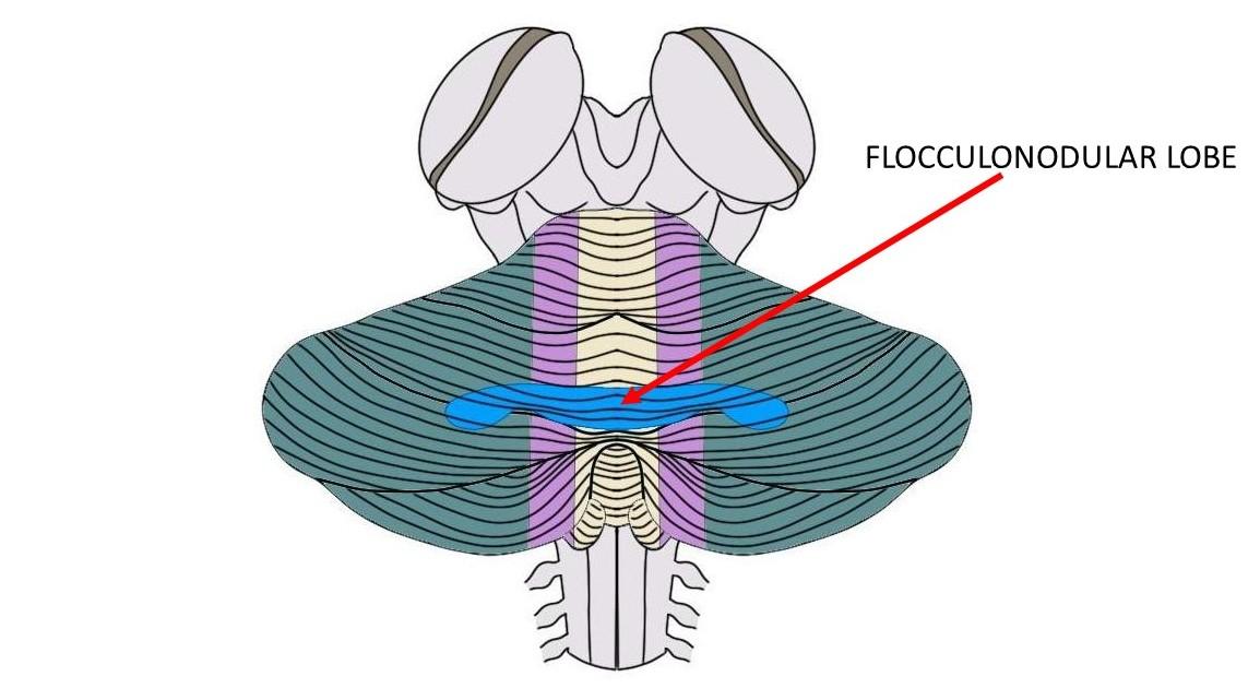 the flocculonodular lobe is the blue region above.