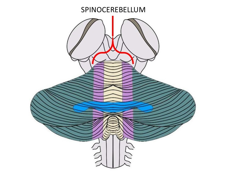 the spinocerebellum is made up of the purple and tan regions above.