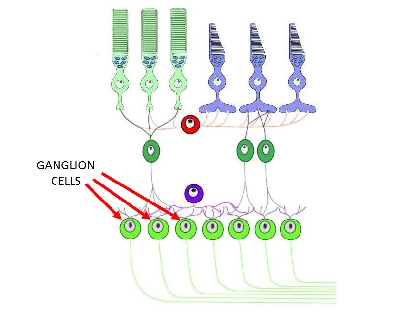 cell layers of the retina with arrows designating a few ganglion cells. the other cells to the right of the labeled cells are also ganglion cells.