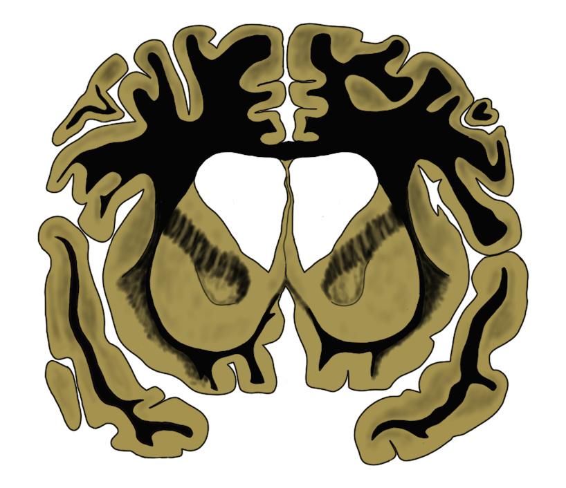 "2-Minute Neuroscience<a href=""/blog/2-minute-neuroscience-striatum"">→</a><strong>Striatum</strong>"