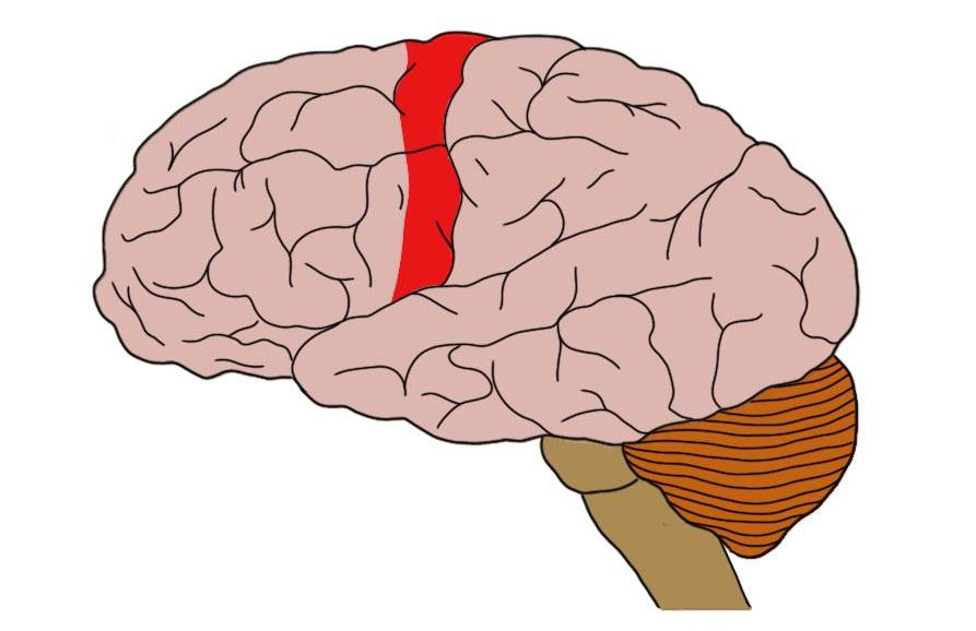 Primary motor cortex (in red).