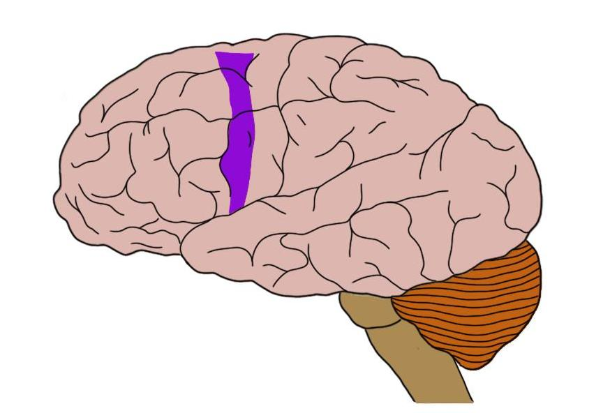 Premotor cortex (in purple).