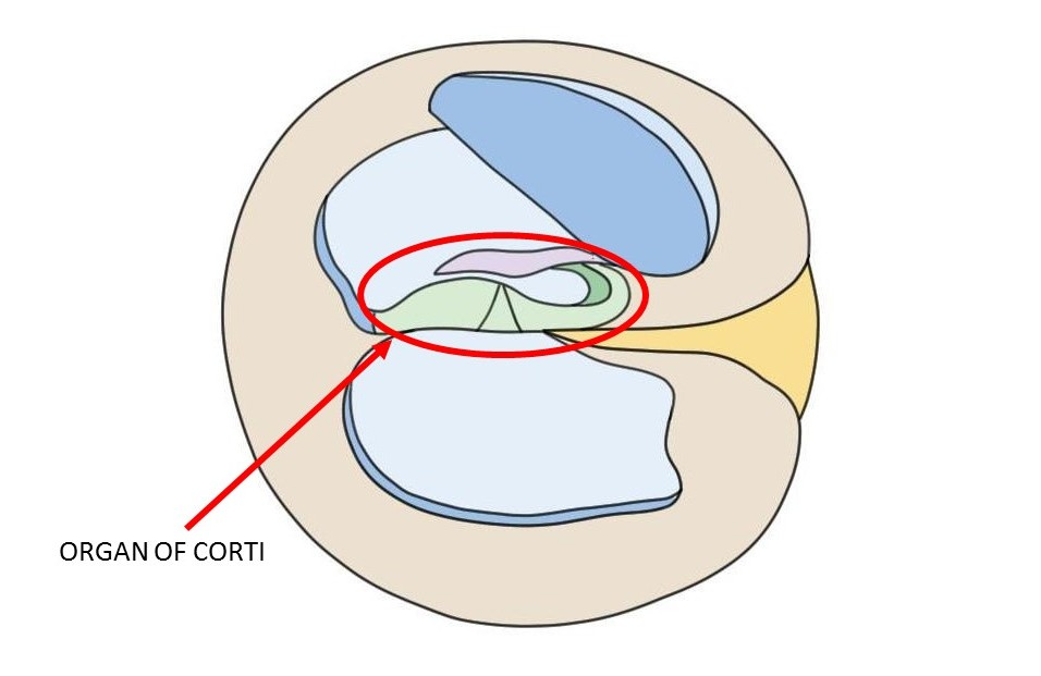 organ of corti.