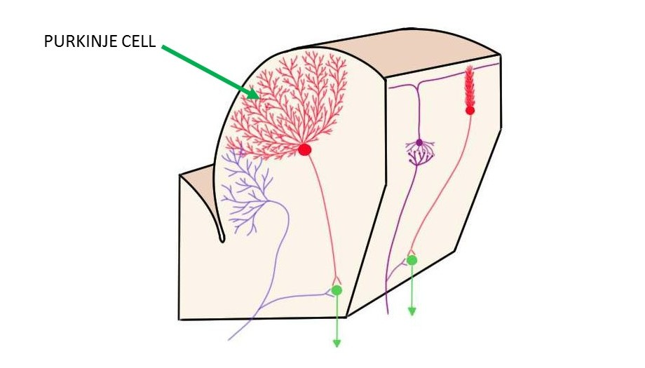 purkinje cell.