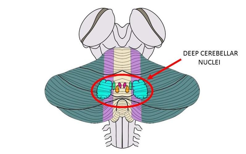 deep cerebellar nuclei.
