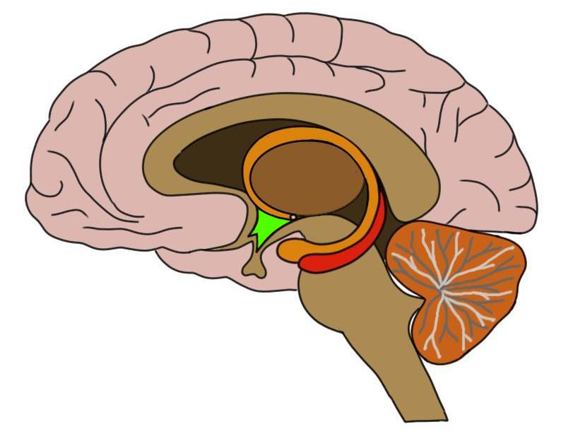 the hypothalamus is colored green in the image above.