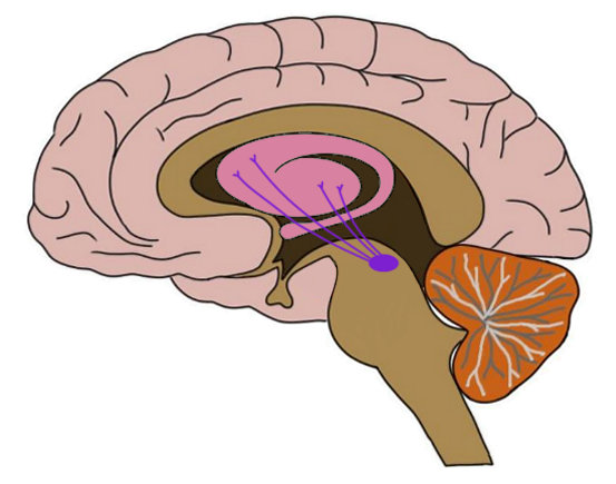 the nigrostriatal pathway is represented by the purple lines in the image above.