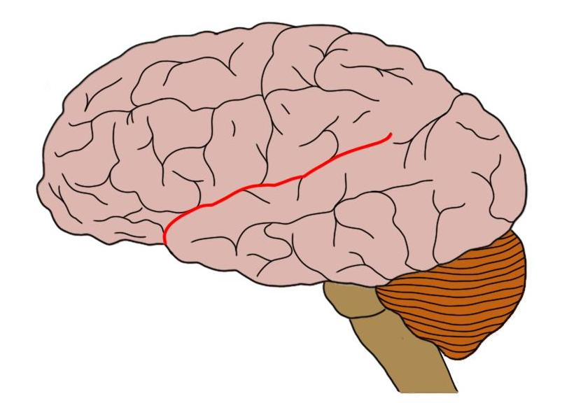 Lateral sulcus outlined in red.