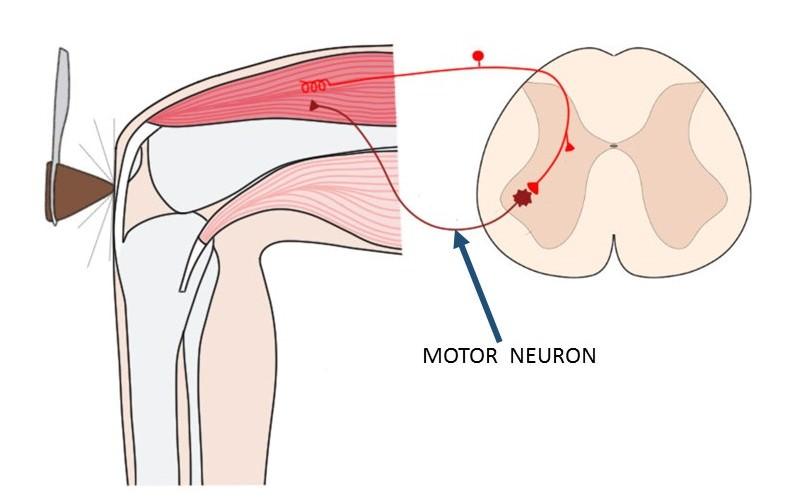 motor neuron.