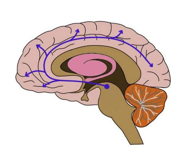 Mesocortical pathway outlined in blue.