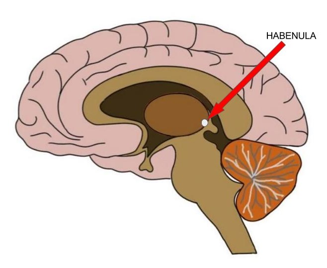 """<p>Know Your Brain<strong>Habenula<a href=""""/blog/what-is-the-habenula"""">Read more →</a></strong></p>"""
