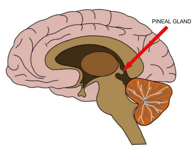 """<p>Know Your Brain<strong>Pineal Gland<a href=""""/blog/know-your-brain-pineal-gland"""">Read more →</a></strong></p>"""