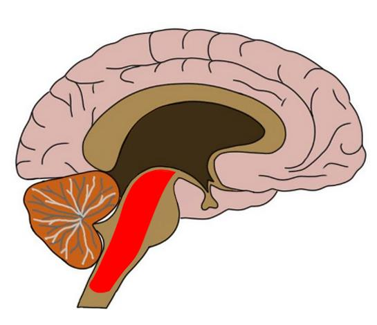 reticular formation in red.