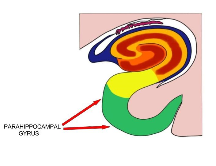 parahippocampal gyrus.