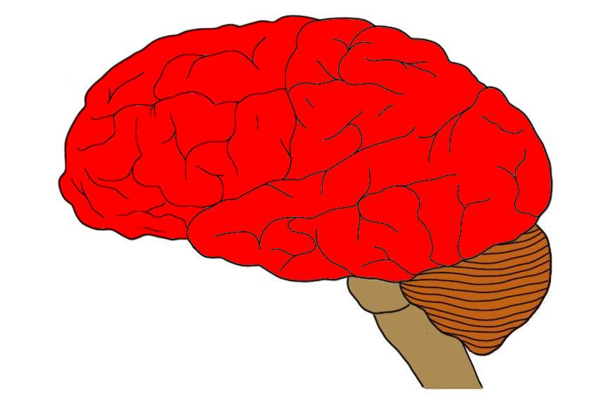 The telencephalon highlighted red. The telencephalon not only includes the cerebral cortex (visible here) but also a large number of subcortical structures, pathways, etc.