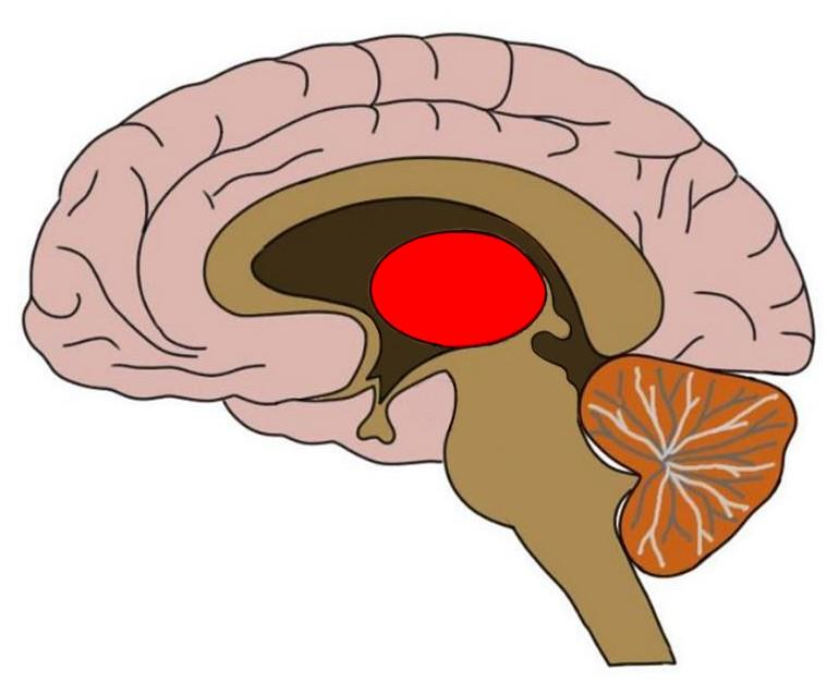 the thalamus colored in red. There are two of these structures in an intact brain. they are symmetrical and positioned side-by-side one another.