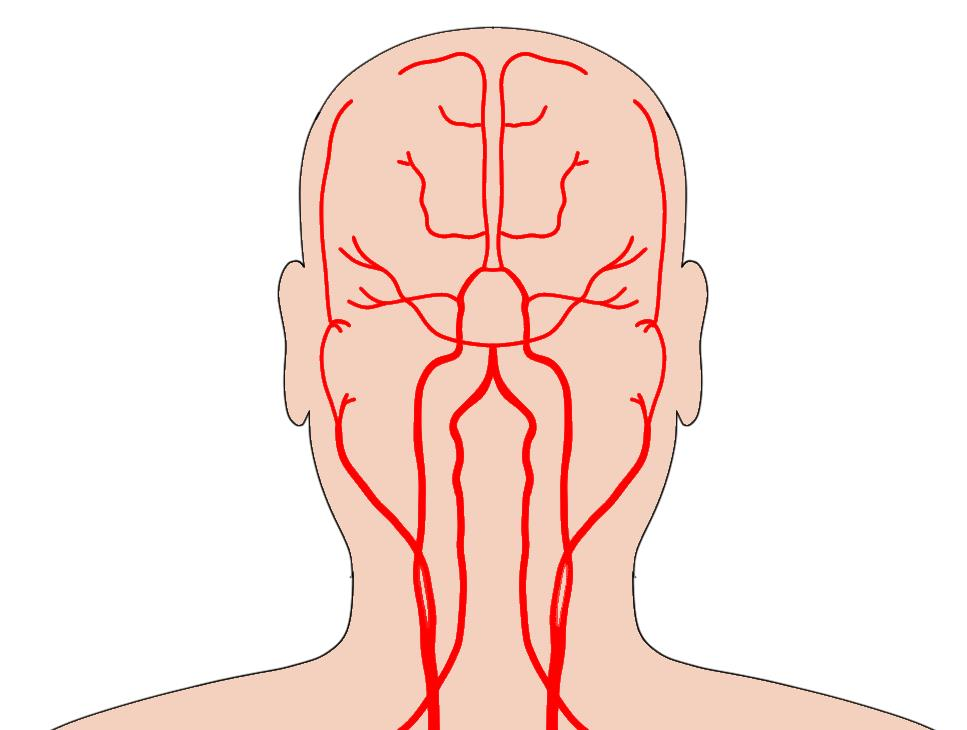 """2-Minute Neuroscience<a href=""""/blog/2-minute-neuroscience-blood-supply-brain"""">→</a><strong>Blood Supply</strong>"""